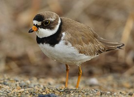 HD Quality Wallpaper | Collection: Animal, 275x200 Plover