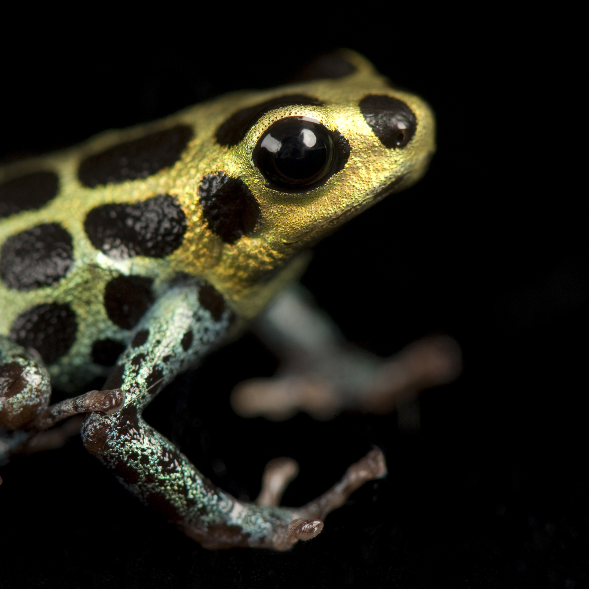 High Resolution Wallpaper   Poison Dart Frog 2048x2048 px