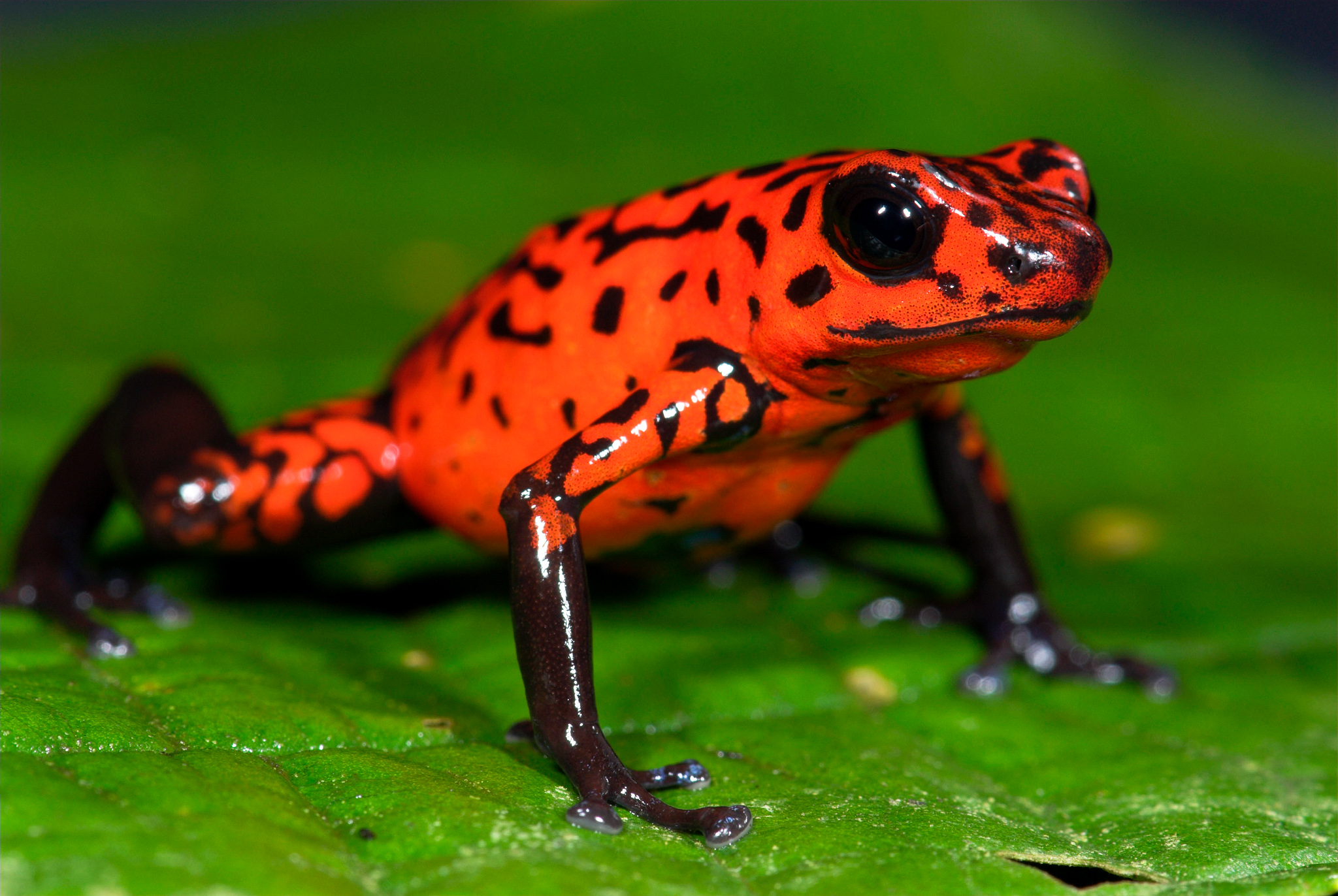 Nice wallpapers Poison Dart Frog 2048x1372px