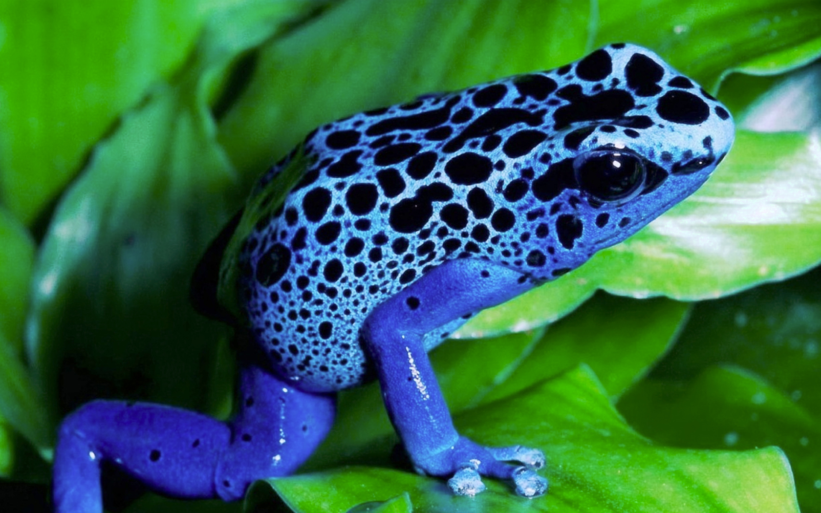 Poison Dart Frog Pics, Animal Collection
