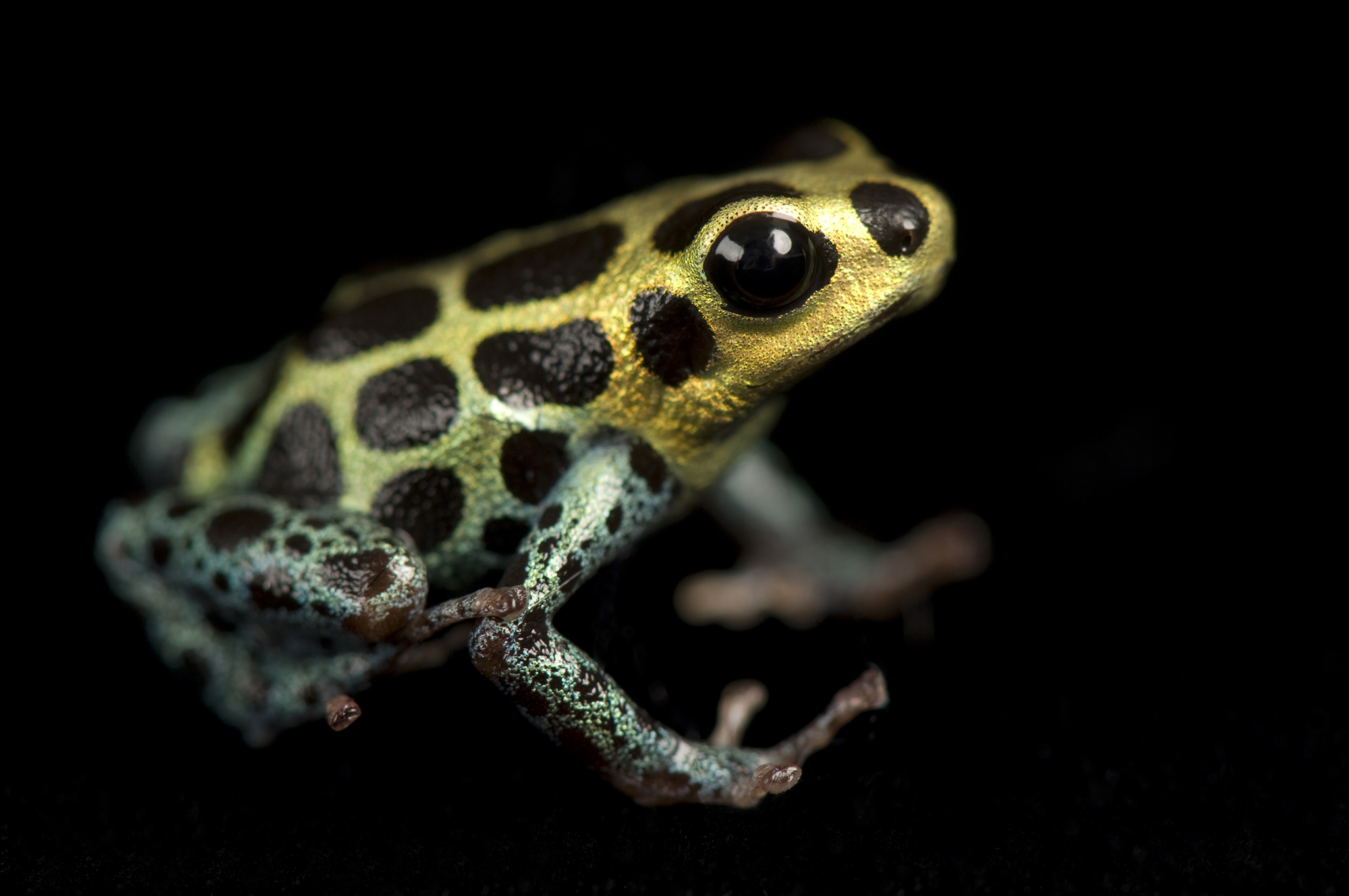 Images of Poison Dart Frog | 2048x1360