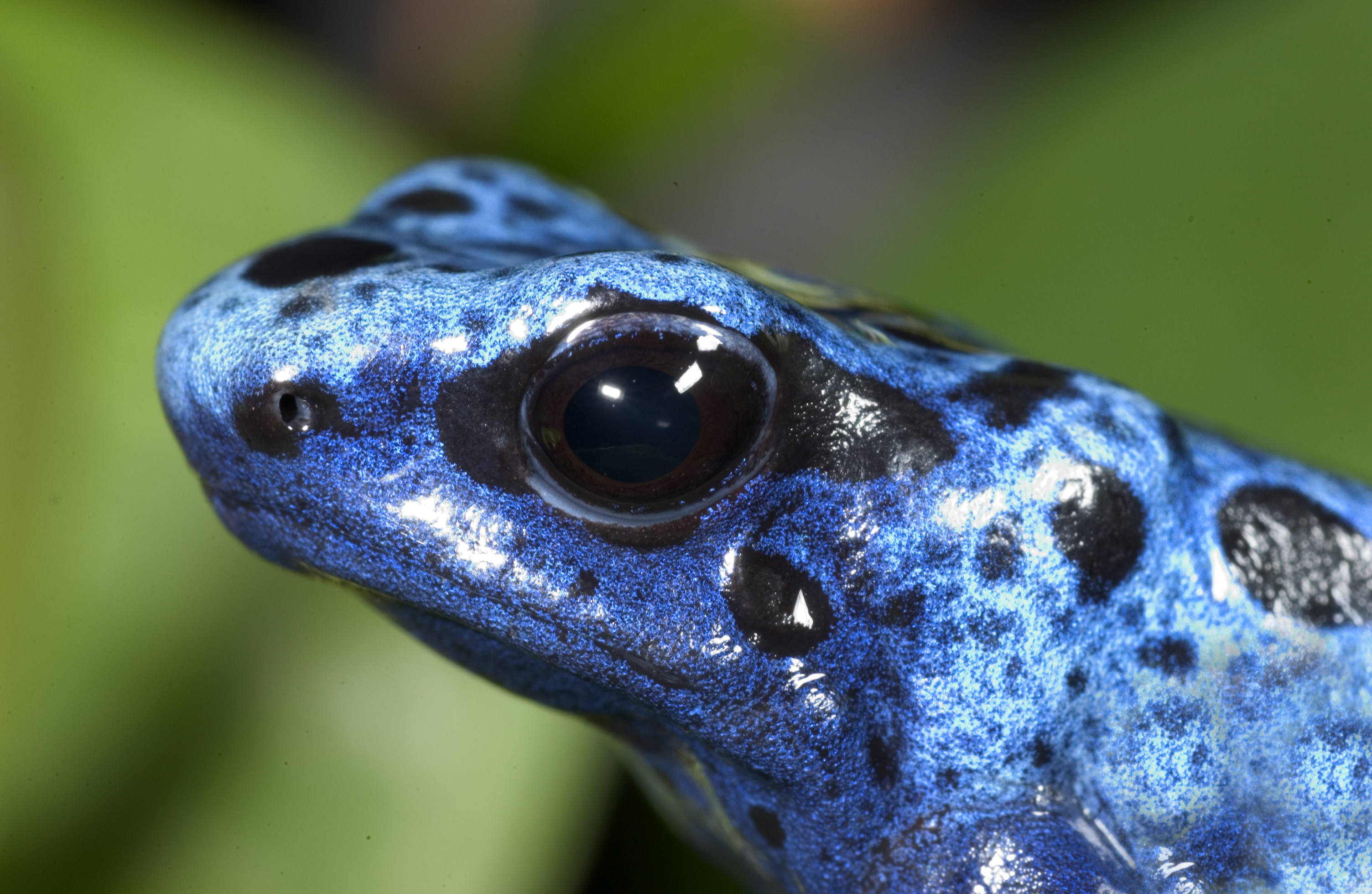 Poison Dart Frog Pics, Animal Collection
