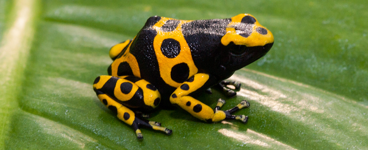 Poison Dart Frog Backgrounds, Compatible - PC, Mobile, Gadgets  1200x490 px