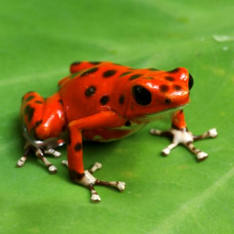 HQ Poison Dart Frog Wallpapers   File 21.24Kb