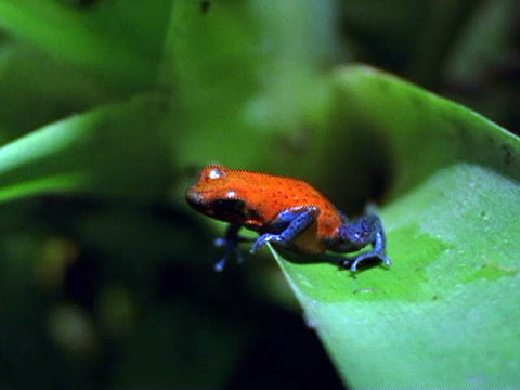 Poison Dart Frog High Quality Background on Wallpapers Vista