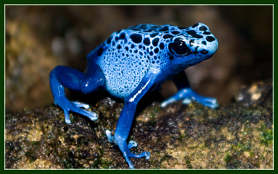 400x250 > Poison Dart Frog Wallpapers