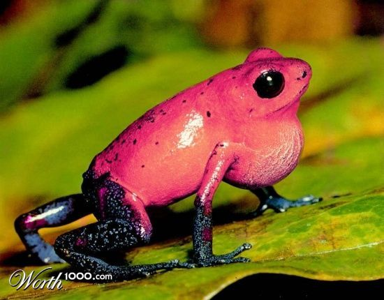 Poison Dart Frog Backgrounds, Compatible - PC, Mobile, Gadgets  550x430 px