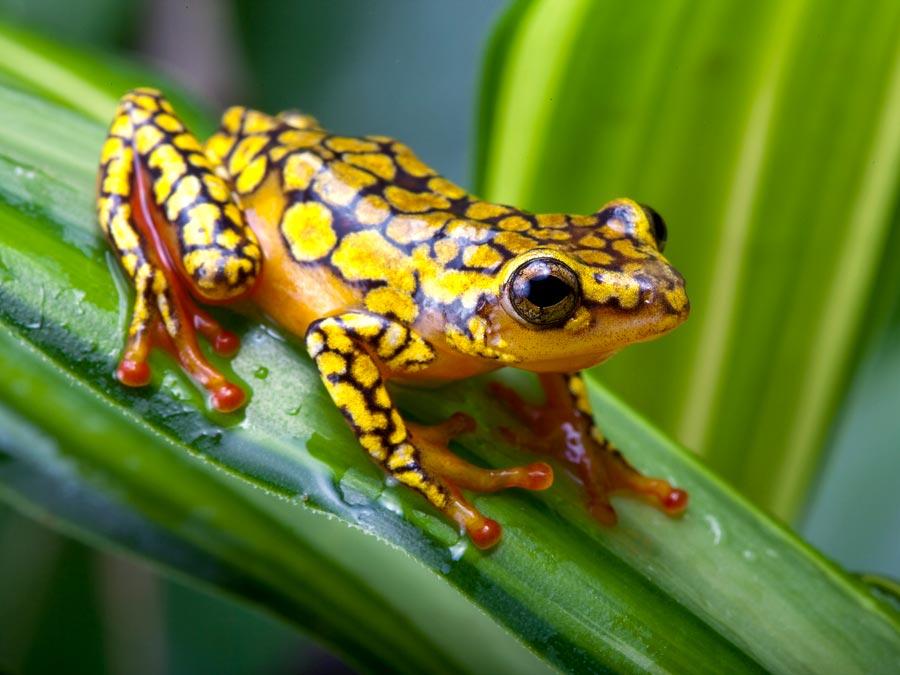 HQ Poison Dart Frog Wallpapers   File 77.23Kb