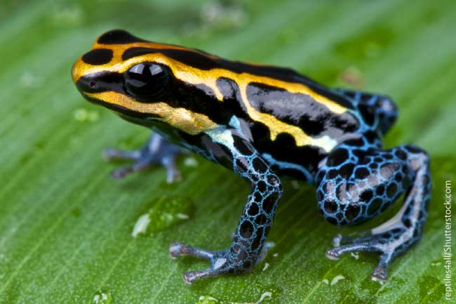 Nice wallpapers Poison Dart Frog 650x433px