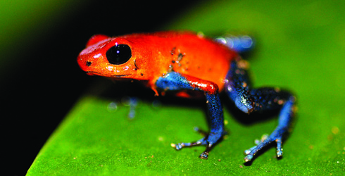 Nice Images Collection: Poison Dart Frog Desktop Wallpapers