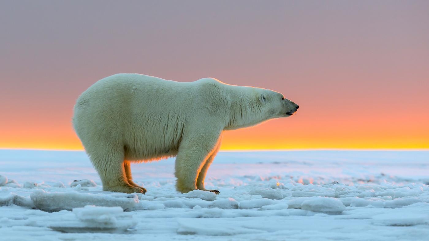 Polar Bear Backgrounds, Compatible - PC, Mobile, Gadgets| 1400x788 px