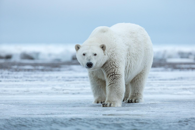 High Resolution Wallpaper | Polar Bear 1500x1000 px