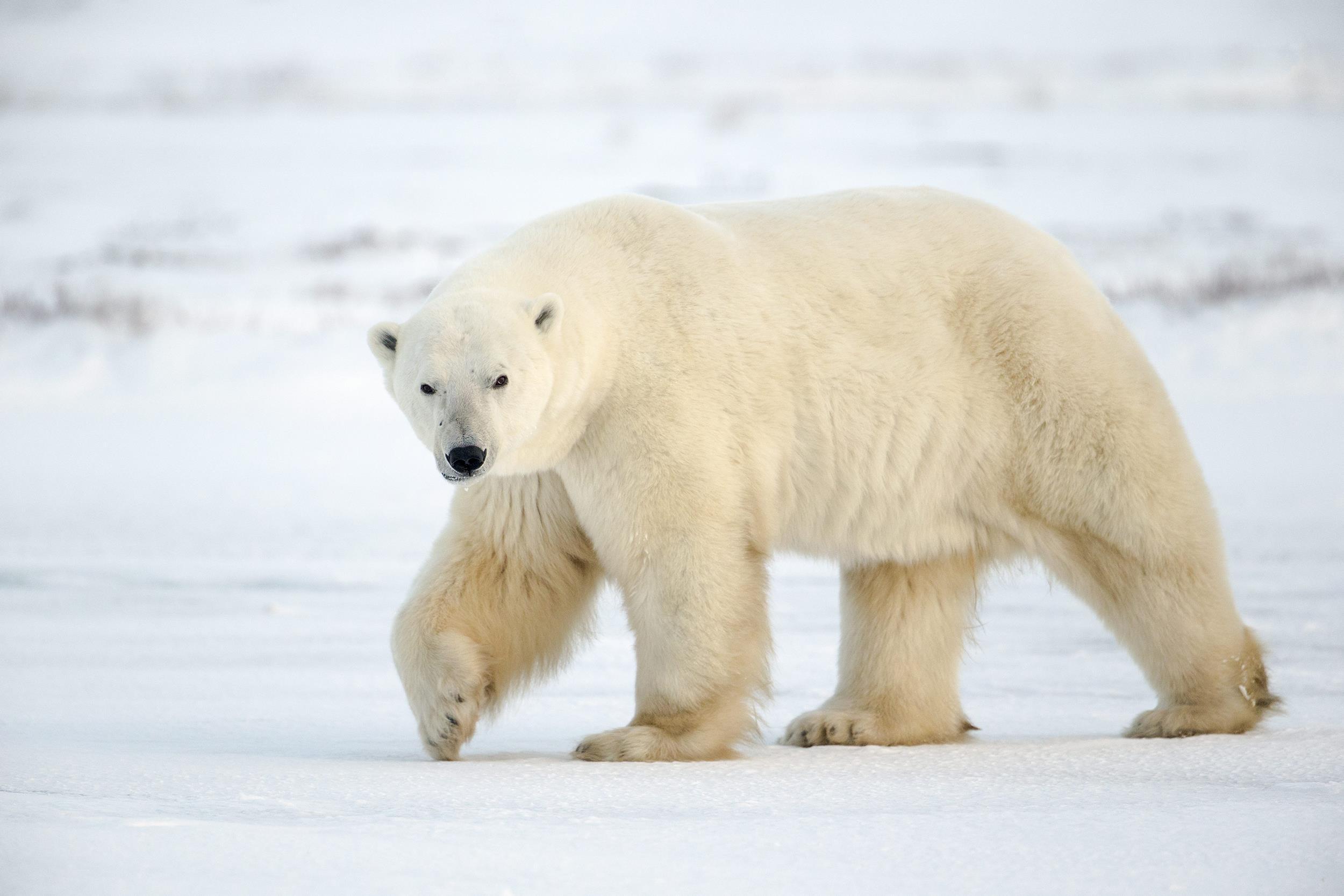 2500x1667 > Polar Bear Wallpapers