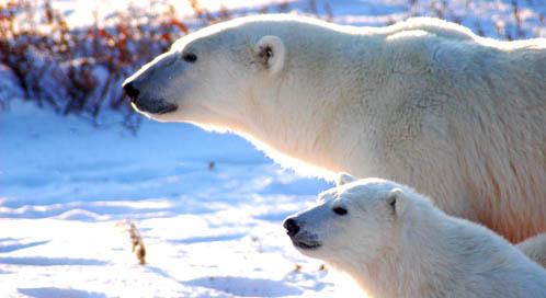 HD Quality Wallpaper | Collection: Animal, 498x272 Polar Bear