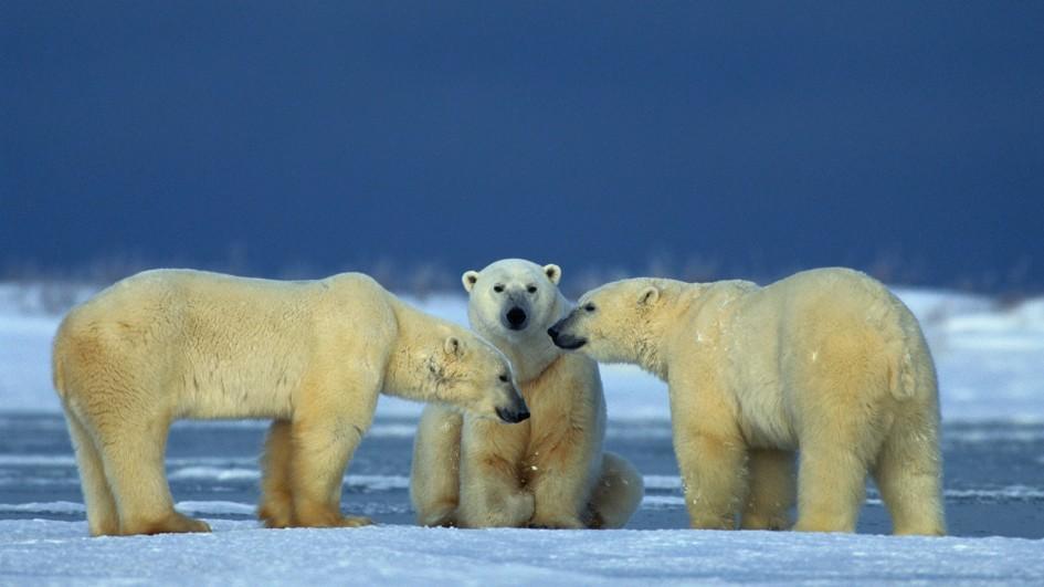 Images of Polar Bear | 945x531