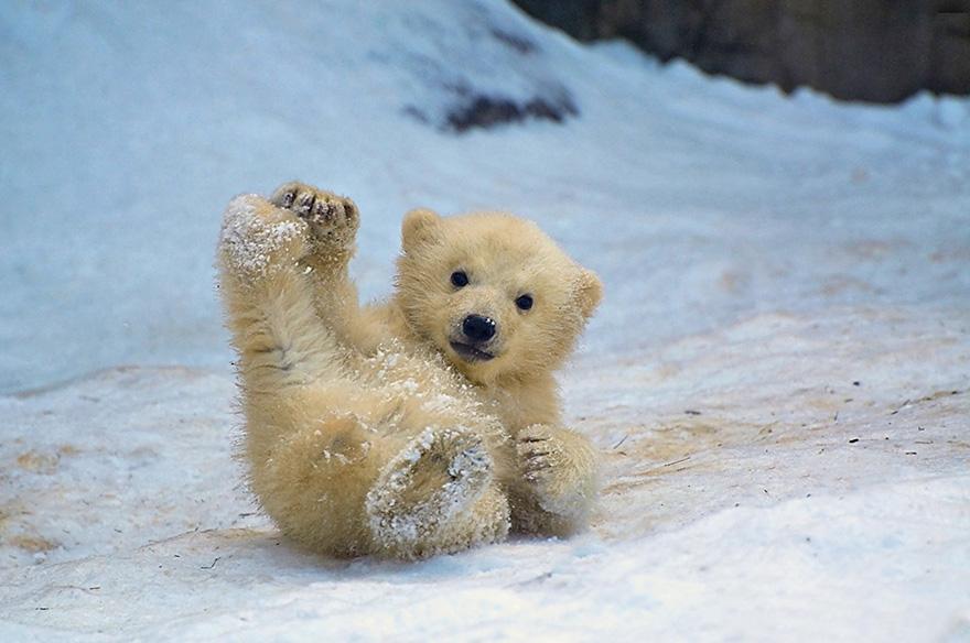 Nice Images Collection: Polar Bear Desktop Wallpapers
