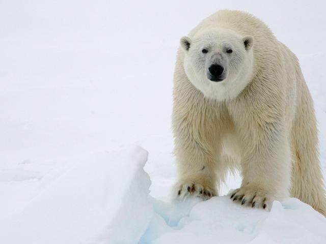 HQ Polar Bear Wallpapers | File 22.39Kb