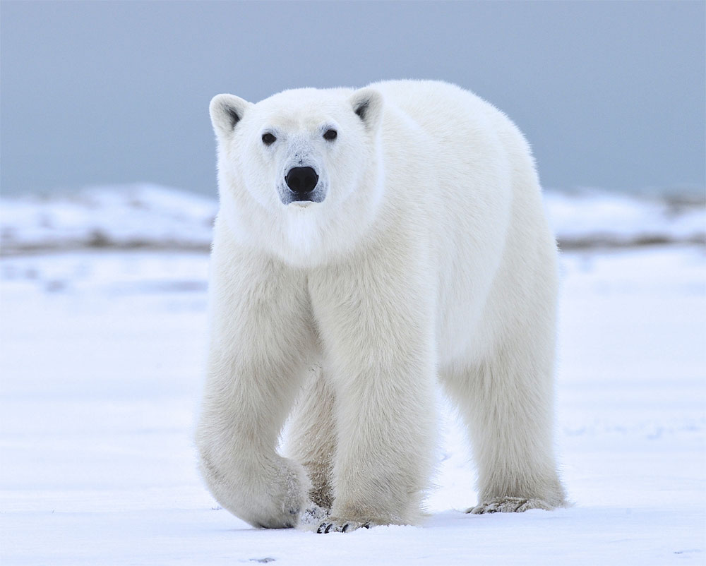 Amazing Polar Bear Pictures & Backgrounds