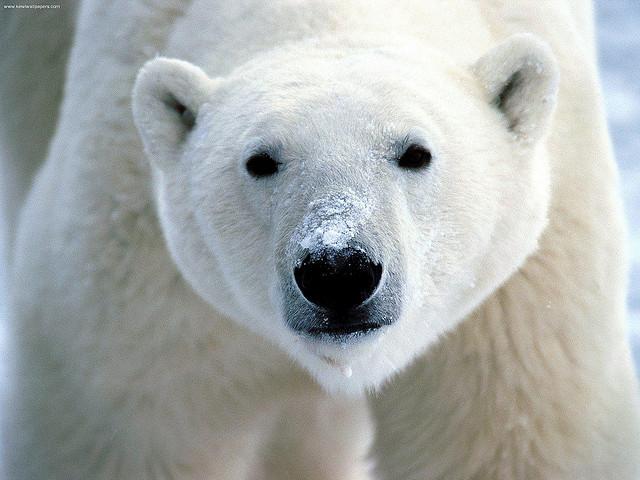 HQ Polar Bear Wallpapers | File 106.18Kb