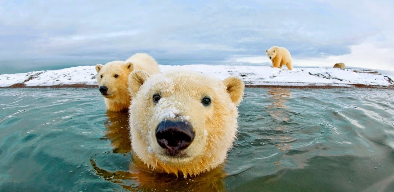 1278x624 > Polar Bear Wallpapers