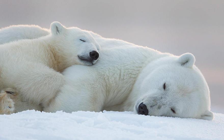 High Resolution Wallpaper | Polar Bear 880x551 px