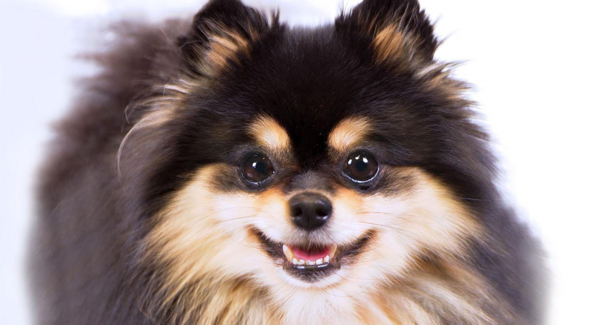 HQ Pomeranian Wallpapers | File 79.75Kb
