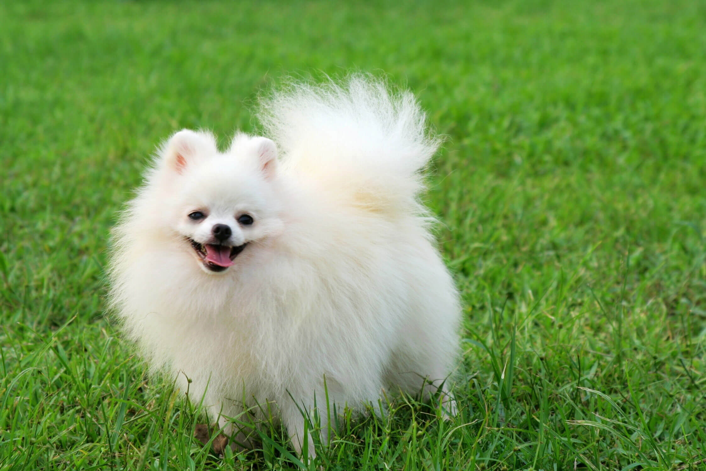 HD Quality Wallpaper | Collection: Animal, 2246x1498 Pomeranian