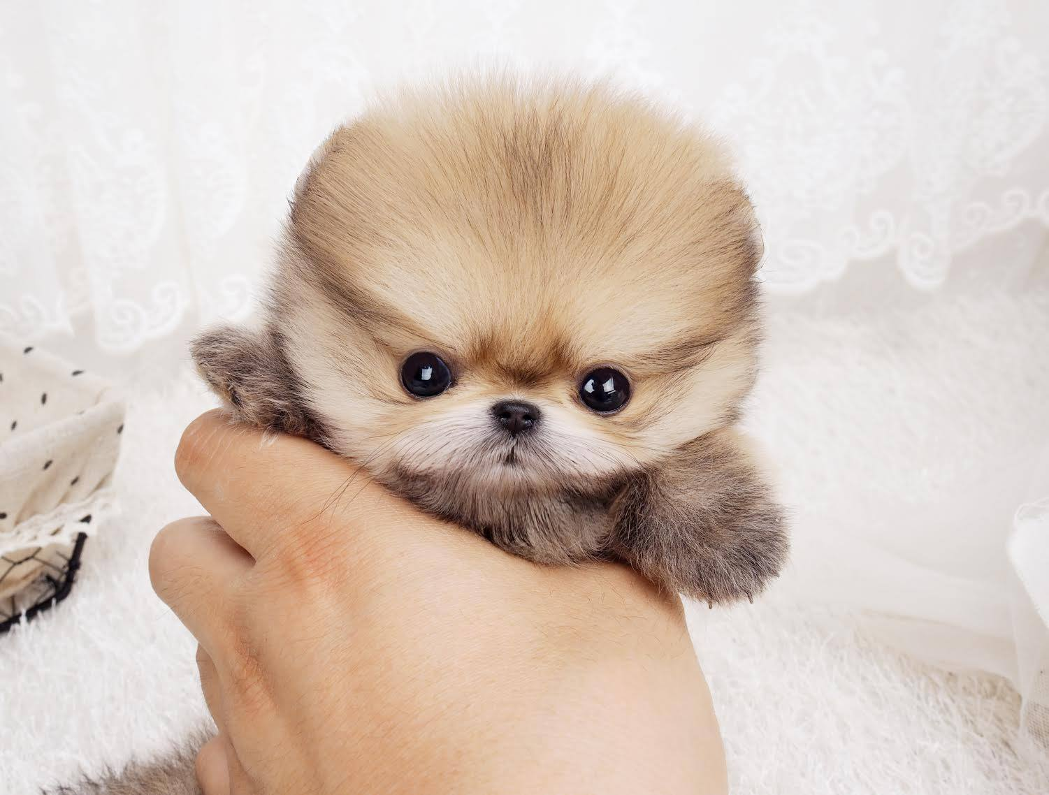 Pomeranian Wallpapers Animal Hq Pomeranian Pictures 4k Wallpapers 2019