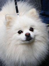 Pomeranian Backgrounds, Compatible - PC, Mobile, Gadgets| 170x227 px