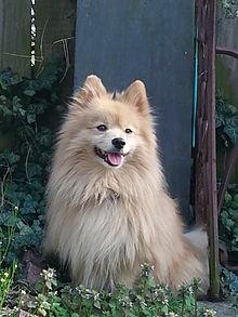Pomeranian Pics, Animal Collection