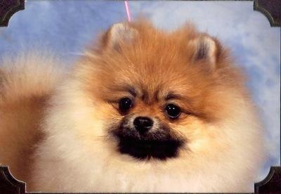Pomeranian Backgrounds, Compatible - PC, Mobile, Gadgets| 400x276 px