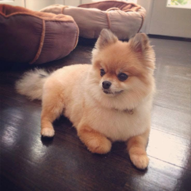 Images of Pomeranian | 736x736