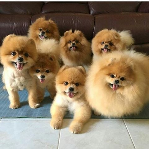 Pomeranian Backgrounds on Wallpapers Vista
