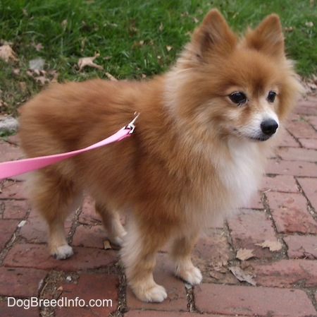 Images of Pomeranian | 450x449