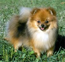 Nice Images Collection: Pomeranian Desktop Wallpapers