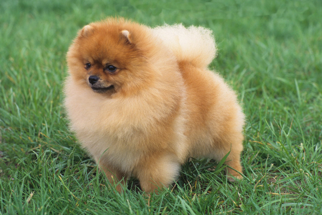 Images of Pomeranian | 630x420