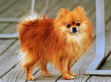 Images of Pomeranian | 220x162