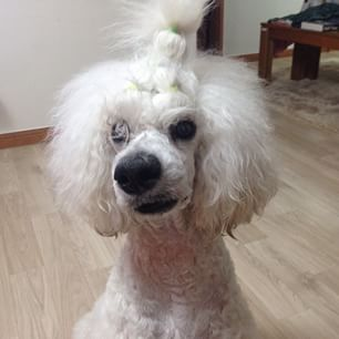 Nice wallpapers Poodle 306x306px