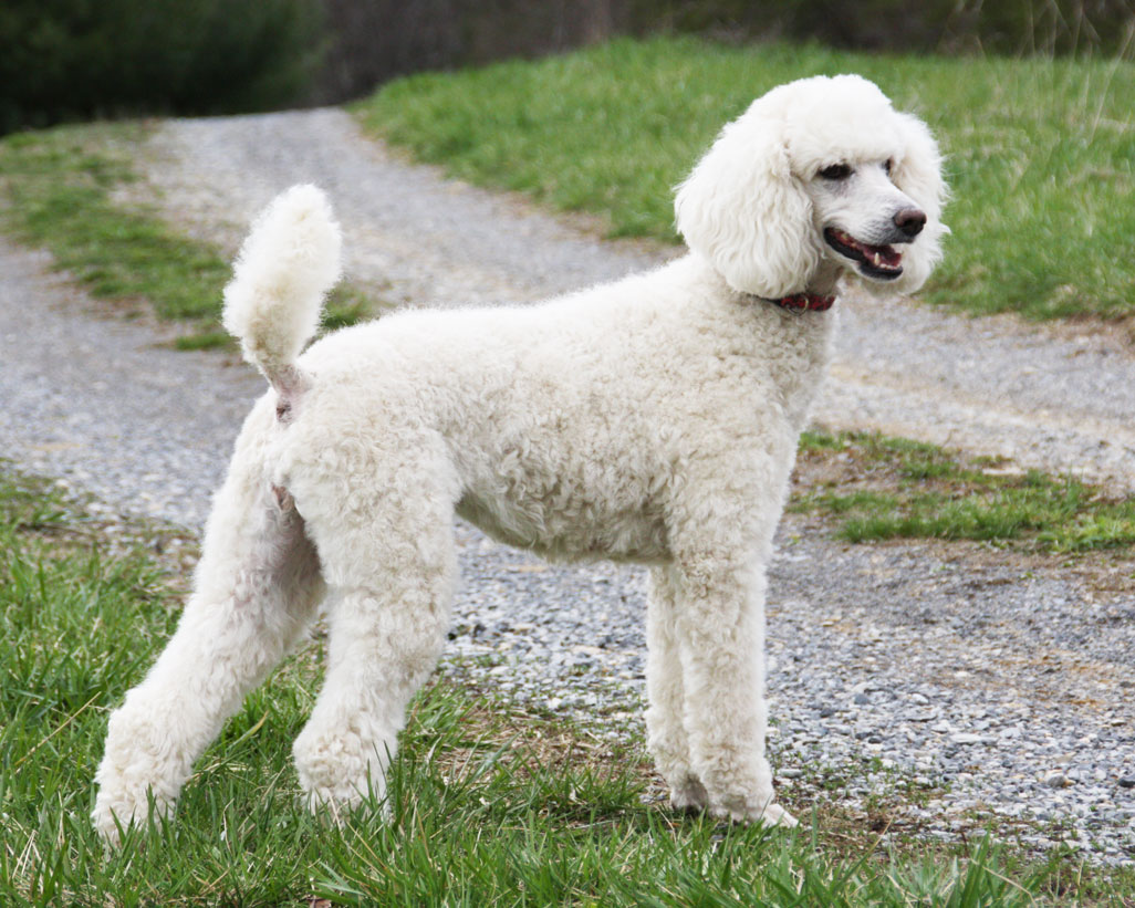Amazing Poodle Pictures & Backgrounds