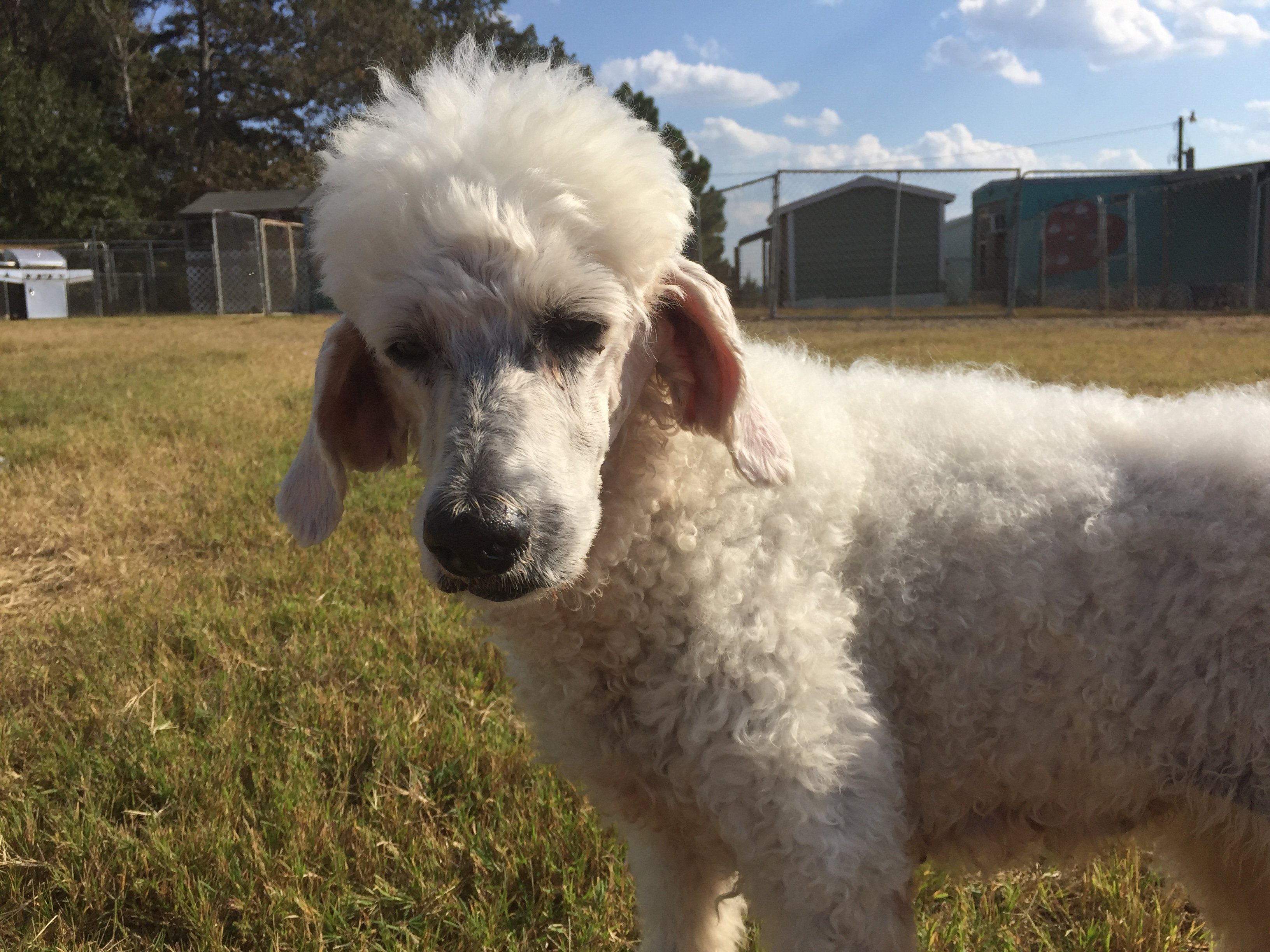 Images of Poodle   3264x2448