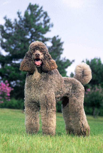 High Resolution Wallpaper   Poodle 438x648 px