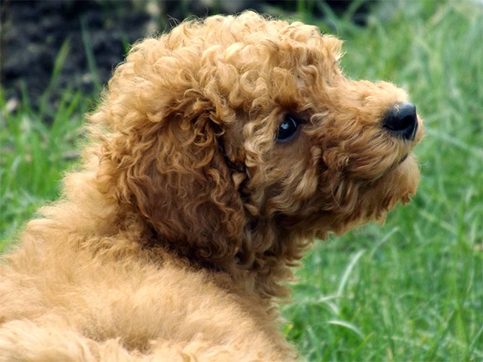 Images of Poodle   680x510