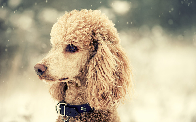 HD Quality Wallpaper   Collection: Animal, 680x425 Poodle