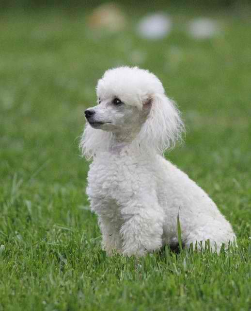 HD Quality Wallpaper   Collection: Animal, 518x640 Poodle