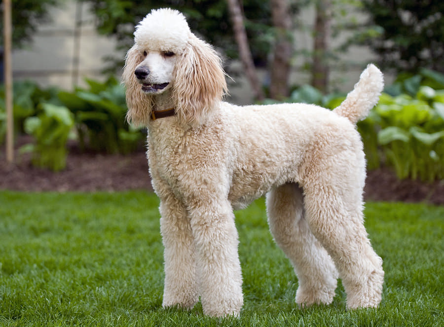 High Resolution Wallpaper   Poodle 900x663 px