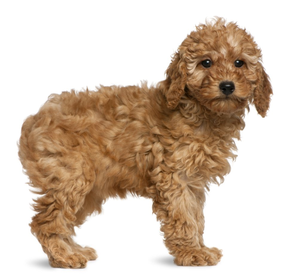 1000x920 > Poodle Wallpapers