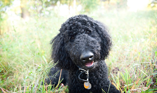 Nice Images Collection: Poodle Desktop Wallpapers