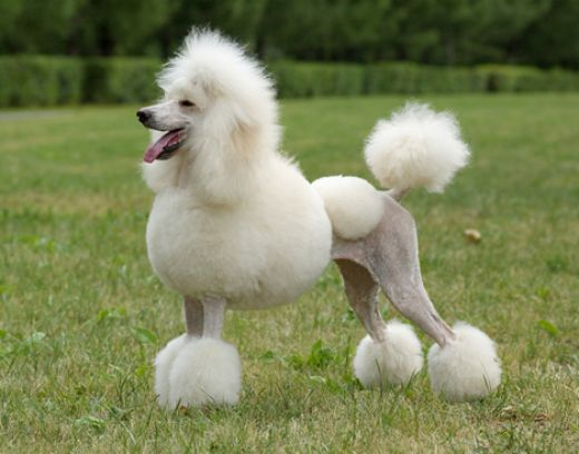Nice wallpapers Poodle 520x408px