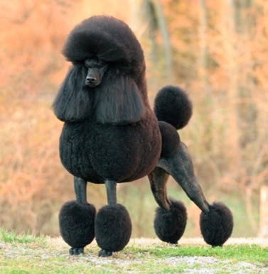 Nice wallpapers Poodle 377x386px