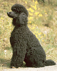 High Resolution Wallpaper   Poodle 220x270 px